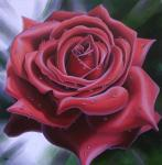 A rose with drops of morning dew