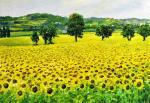 Languedoc sunflowers